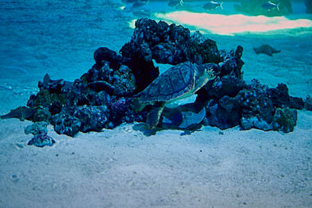 Turtle swimming in the ocean next to a big rock, big, bright, sand Фото со стока