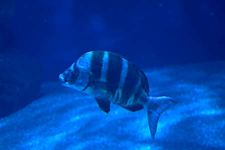 Black striped fish swimming in the ocean, sand, light, lonely