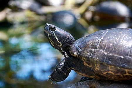 Small turtle eating vegetation, dark earth, green, reptile