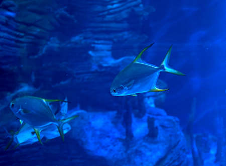 Golden fin fish swimming in the sea, rock, lit, blue