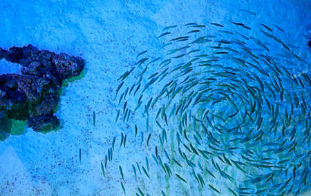 Group of fish swimming together in the sea. Many quantity, bright, sand, rocks, spiral