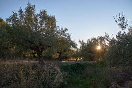 Sun setting between olive groves, sunset, olive trees, mount 版權商用圖片