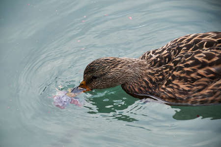 Duck with its beak in the water swimming in a lake, close-up, detail 版權商用圖片