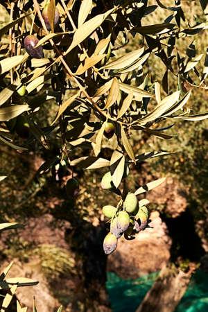 Set of olives on olive branch, details, macro photography 版權商用圖片