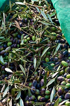 Set of harvested olives in blanket, traditional agriculture