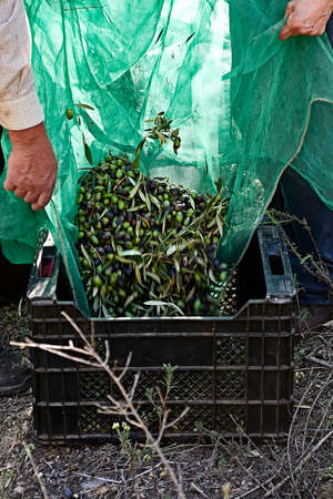 Olives falling into a drawer from a blanket, details, traditional agriculture