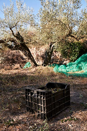 Olive fields prepared for the harvest, olives, sunny day, traditional agriculture, drawers 版權商用圖片