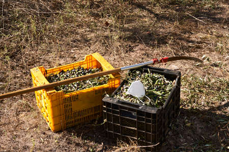 Olive fields prepared for the harvest, olives, sunny day, traditional agriculture, crates, handsaw