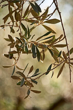 Details of olive branch with leaves, macro photography