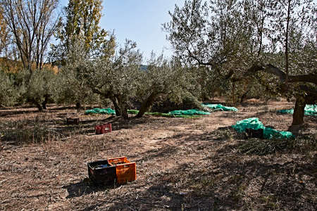Olive fields prepared for the harvest, olives, sunny day, traditional agriculture, crates