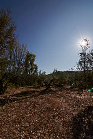 Olive fields prepared for the harvest, olives, sunny day, traditional agriculture