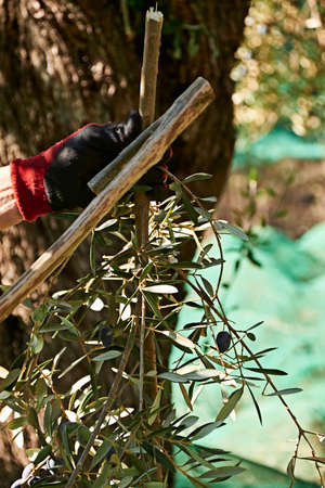 Person picking olives with a stick, traditional agriculture 版權商用圖片