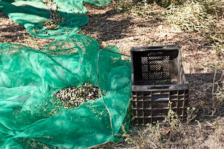 Crates with olives and harvest blankets, traditional agriculture 版權商用圖片