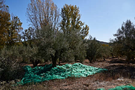 Olive fields prepared for the harvest, olives, sunny day, traditional agriculture, 版權商用圖片