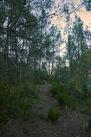 Mountain path among the forest pines, autumn, sunny day, greenery 版權商用圖片