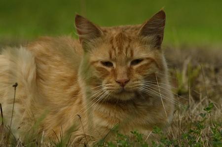 orange cat: Orange cat Stock Photo