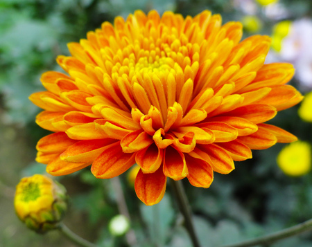 gebera: Orange Gebera, Daisy Flower in the Garden Stock Photo