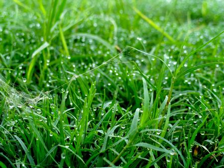 greensward: Green Grass Field with Dew Drops in the Morning Stock Photo