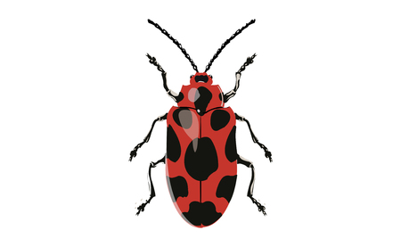 lady beetle: Illustration of Phyllocharis Cyanicornis on White Background Stock Photo