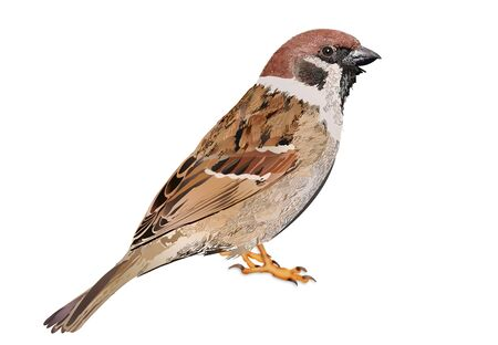 Sparrow illustration. Sparrow Isolated on White Background