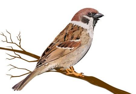 Sparrow Sitting on Tree Branch illustration. Sparrow Isolated on White Background Stock Photo