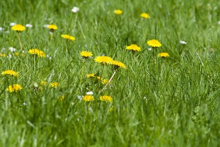 field with dandelions photo