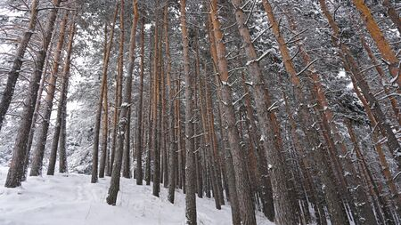 Coniferous trees are covered with snow. Festive mood. Branches in the snow. Big drifts around. White fluffy snow falls in the forest. Winter fairy tale in the Tien Shan mountains, Kazakhstan, Almaty Standard-Bild