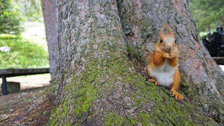 A red squirrel with a fluffy tail nibbles a nut. Banque d'images