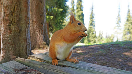 A red squirrel with a bushy tail nibbles a nut. Banque d'images