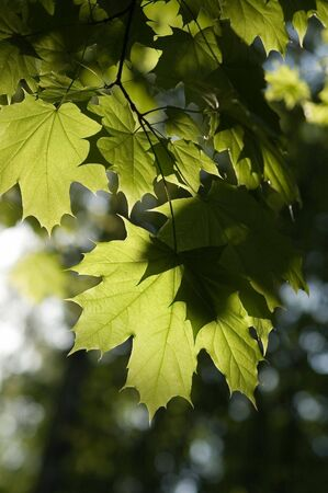Leaves of maple in a garden photo