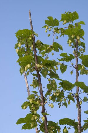 bine: Sprouts of hop against the blue sky Stock Photo