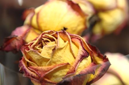 sapless: Germoglio di rose secche, close-up fiore rosso