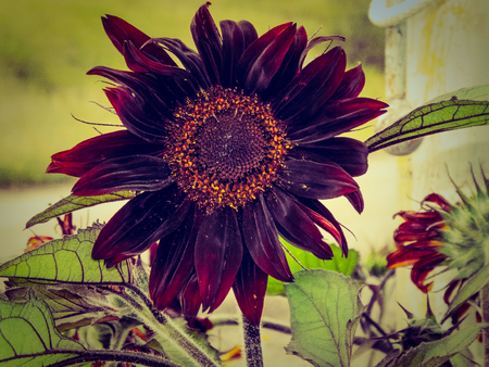 A big black sunflower against a blurry background.