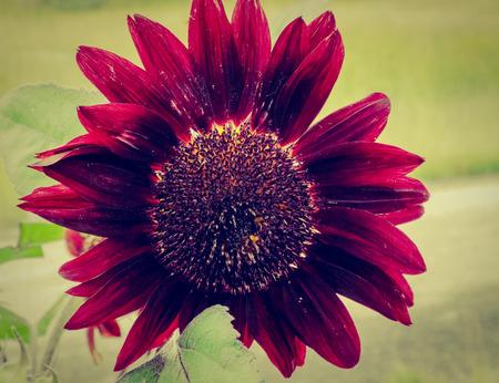 black sunflowers in full bloom Stock Photo