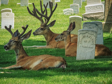 Deer in the city laying in a cemetery next to headstones.