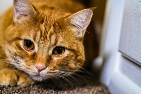A yellow tabby cat focuses on his indoor hunt. Stock Photo