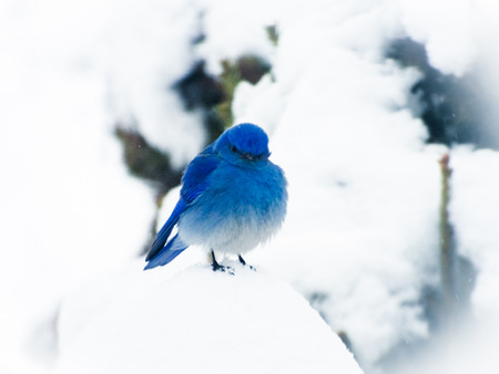 Idahos state bird, the Mountain Bluebird perched on top of a small tree during a light snow storm. He almost looks angry, as I capture his funny expression.
