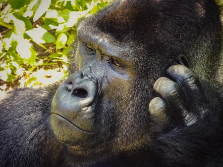 A gorilla sitting alone in the jungle