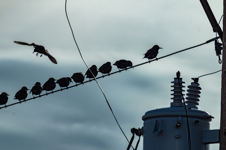 A bird flying towards a group of birds resting on an electrical wire