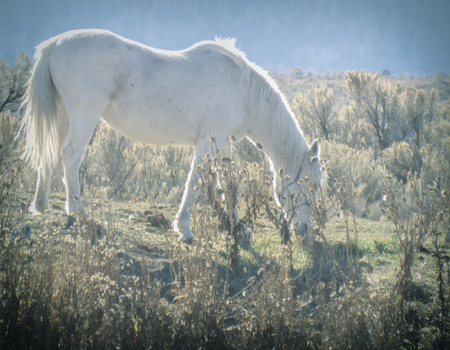A lovely white horse grazes in a field, while bathed in soft sunlight.