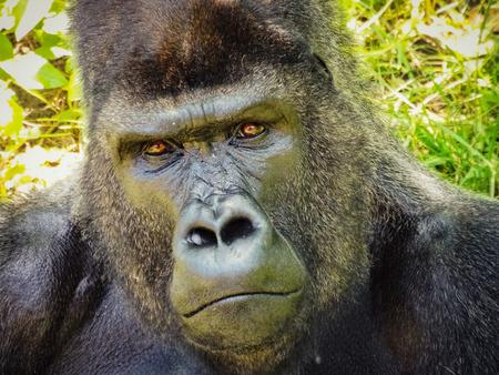 A gorilla look so sad sitting alone Stock Photo