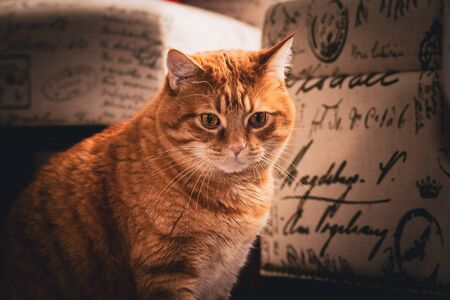 An orange tabby  cat sits focused on something, next to furniture.