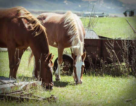 Focus on a brunette horse eating green grass with sunlight shining on it`s mane, as it`s blonde mate looks on in the background surrounded by vintage farm equipment.