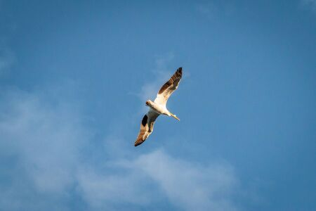 The underside of a pelican flying with wings spread against a blue sky. Stock Photo