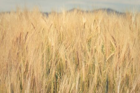 A closeup shot of golden grain that is almost ready to harvest. Stock Photo
