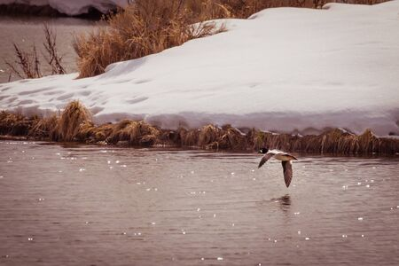 A Golden-eye duck flies over sparkling a pond, as it's image reflects in the water. Snow-covered banks and grasses surround the pond in winter-time.