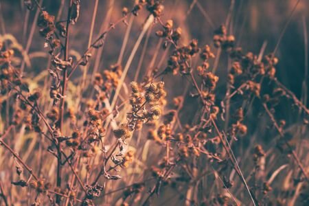 Dried and golden colored weeds shine in the Autumn sunshine.