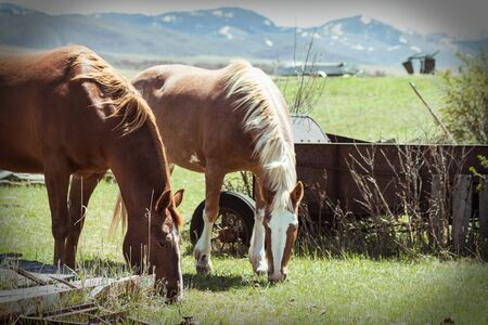 Two horses eat green grass on a rural vintage farm next to rusty farm equipment. The Spring sun shines on the horse`s manes and the fields in the background.