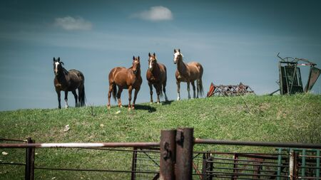 Four horses stand on a grassy hill against a blue sky on their farm on a sunny Spring day.
