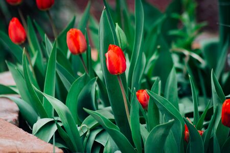 Bright red tulips with dark green foliage bloom in a Spring flowerbed, lined in brown stone. Stock Photo